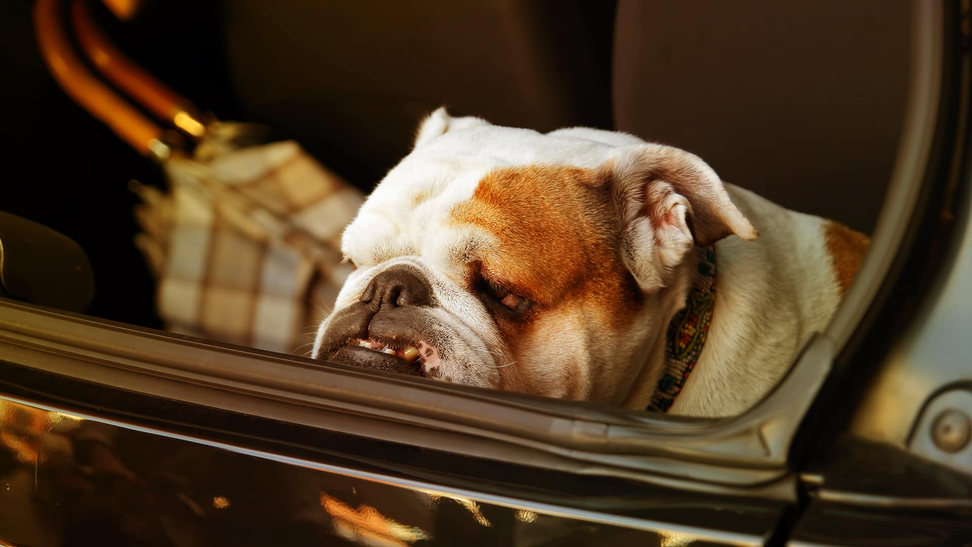 Dogs riding in cars – 7 helpful tips